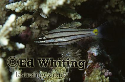 Fiveline Cardinalfish (Cheilodipterus quinquelineatus), Southern Red Sea, Sudan