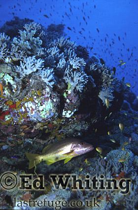 Onespot Snapper (Lutjanus monostigma), in natural, Southern Red Sea, Sudan