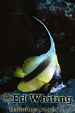 Longfin Bannerfish (Heniochus acuminatus), Southern Red Sea, Sudan