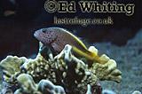 Blackside Hawkfish (Paracirrhites forsteri), Southern Red Sea, Sudan