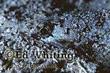 Slender Lizardfish (Saurida gracilis) feeding at night, Southern Red Sea, Sudan