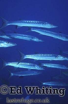 Barracuda (Sphyraena sp.) on the move, Southern Red Sea, Sudan