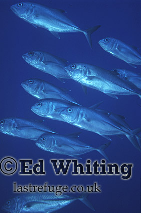 Giant Trevally (Caranx ignbillis), Southern Red Sea, Sudan