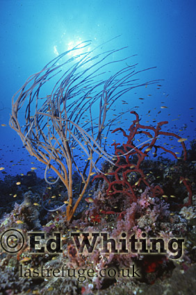 Whip Coral with sunburst, Southern Red Sea, Sudan