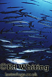 Barracuda (Sphyraena sp.) on the move, Southern Red Sea, Sudan