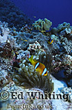 Anemonefish (Amphiprion sp.) Clownfish, In natural setting, Southern Red Sea, Sudan