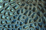 Boulder Coral (Goniastrea sp.), Close up with small fish, Southern Red Sea, Sudan
