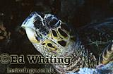 Hawksbill Turtle (Eretmochelys imbricata), Southern Red Sea, Sudan