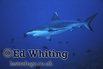 Reef Shark in full frame, Southern Red Sea, Sudan