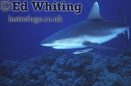 Reef Shark, on patrol, Southern Red Sea, Sudan