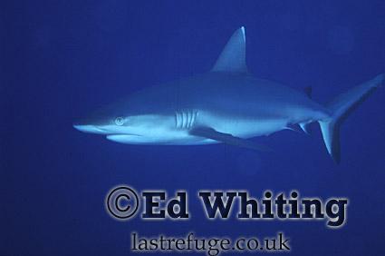 Reef Shark, on blue, Southern Red Sea, Sudan