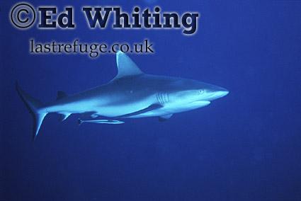 Reef Shark in blue water, Southern Red Sea, Sudan