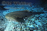 Leopard Shark (Stegostoma fasciatum), Andaman Sea, Thailand