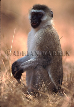 VERVET MONKEY (Cercopithecus aethiops), Akagera National Park, Rwanda, 1990