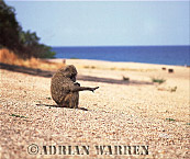 Yellow Baboon (Papio cynocephalus), Gombe, Tanzania