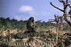 Anubis BABOON (Papio anubis), Tsavo West, Kenya