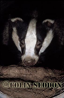 Badger (Meles meles) in drainage pipe, Somerset, UK