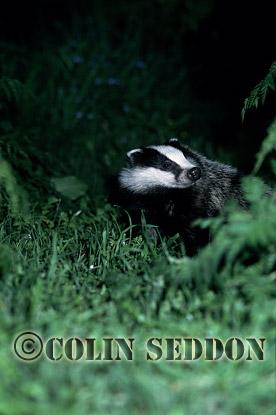 Badger (Meles meles) : cub sniffing air, Somerset, UK