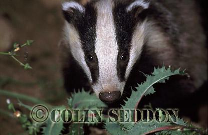 Young Badger (Meles meles), Somerset, UK