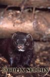 European Mink (Mustela lutreola), Somerset, UK
