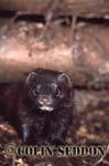 European Mink (Mustela lutreola), Somerset, UK
