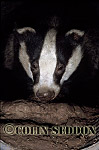 Badger (Meles meles) in drainage pipe, Somerset, UK