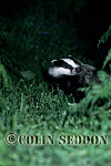 Badger (Meles meles) : cub sniffing air, Somerset, UK