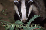 Young Badger (Meles meles), Somerset, UK