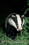 Badger (Meles meles) : cub 12 weeks old, Somerset, UK