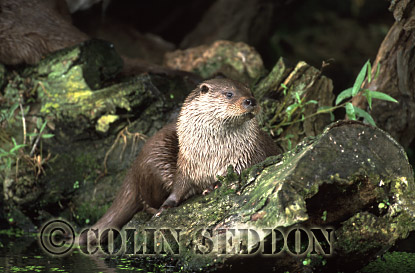 Eurasian Otter (Lutra lutra) on rock, Suffolk, UK