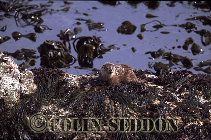 Eurasian Otter (Lutra lutra) cub 8 months old, Shetland Islands, Scotland, UK