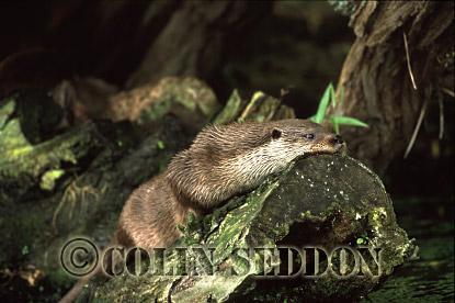 Eurasian Otter (Lutra lutra) resting on rock, Suffolk, UK