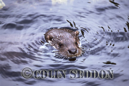 Eurasian Otter (Lutra lutra) swimming, Shetland Islands, Scotland, UK