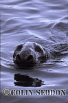 Grey Seal (Halichoerus grypus) bull, Shetland Islands, Scotland, UK