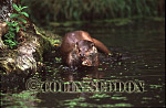 Eurasian Otter (Lutra lutra) eating fish, Suffolk, UK