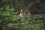 Eurasian Otter (Lutra lutra) swimming in weed, Suffolk, UK