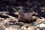 Eurasian Otter (Lutra lutra) on pebble beach, Scotland, UK