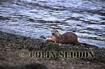 Eurasian Otter (Lutra lutra) eating crab, Scotland, UK