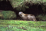 Eurasian Otter (Lutra lutra) at holt entrance, Shetland, Scotland, UK