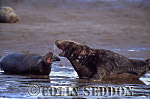 Grey Seal (Halichoerus grypus) cows aggressive, Linclonshire, UK