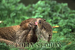 Eurasian Otter (Lutra lutra) grooming, Suffolk, UK