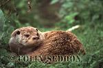 Eurasian Otter (Lutra lutra) laid up, Scotland, UK