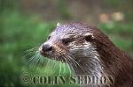 Eurasian Otter (Lutra lutra), Scotland, UK