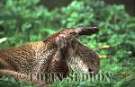 Eurasian Otter (Lutra lutra) grooming, Suffolk, UK