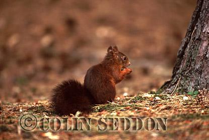 Red Squirrel (Sciurus vulgaris) eating nut, Lanchashire, UK