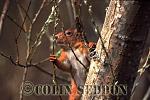 Red Squirrel (Sciurus vulgaris) in tree, Scotland, UK