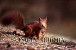Red Squirrel (Sciurus vulgaris) on ground, Lanchashire, UK