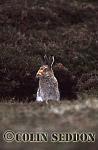 Mountain Hare (Lepus timidus), Shetland Islands, UK