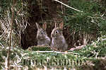 Rabbits (Oryctolagus cuniculus) two immatures at burrow entrance, Scotland, UK