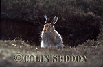 Mountain Hare (Lepus timidus) on heather moorland, Shetland Islands, UK